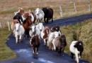 На этом острове проживает больше миниатюрных лошадок, чем людей.