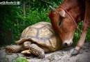 Гигантская черепаха и теленок, потерявший лапу, стали лучшими друзьями.