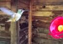 Видео: Фотограф засняла с помощью iPhone 6s полет колибри.