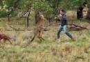 Видео: Парень заступился за собаку, ударив по морде кенгуру.