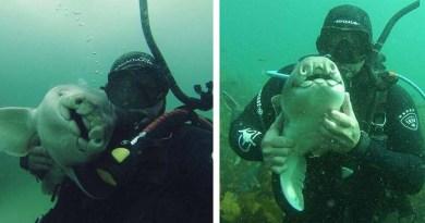 Вот уже 7 лет эта акула приплывает, чтобы пообниматься с дайвером.