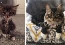 Маленький котенок, родившийся без локтевых суставов, вырос и превратился в красивую кошку.