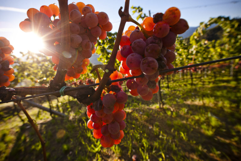 NUSSBAUMER BY CANTINA TRAMIN IS THE ONLY WHITE WINE CONVINCING ALL ITALIAN TOP GUIDES