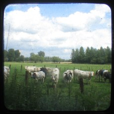 photography viewfinder cows