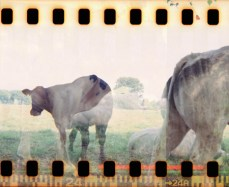 photography cows