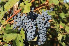 Os encantos da uva Merlot