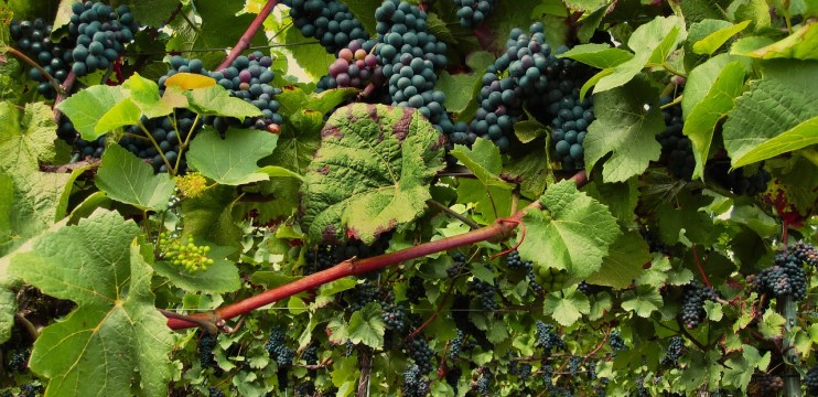 Variedade de Uva Pinot Noir
