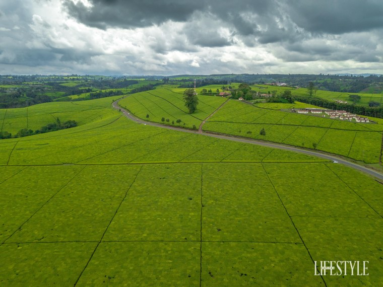 Escape to beautiful Limuru: land of well prunned tea plantations. Magical Kenya