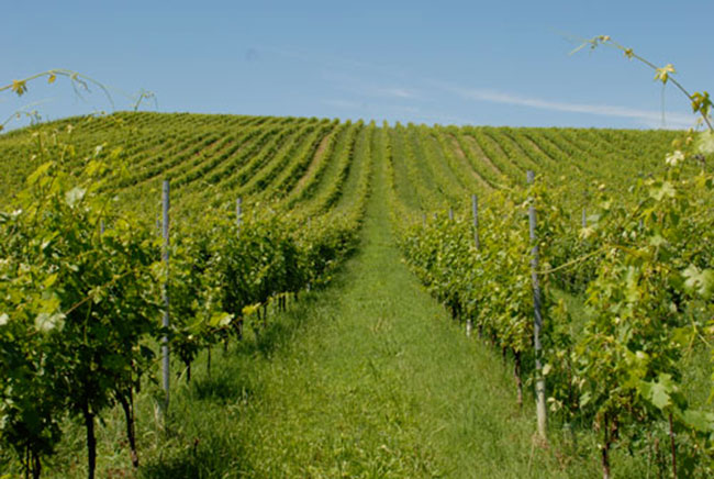 Pusterla-vineyards-in-spring