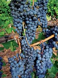La uva bonarda