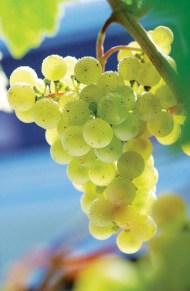 La uva torrontés