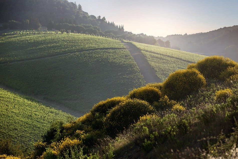 Solaia vineyard (Tuscany, Italy)
