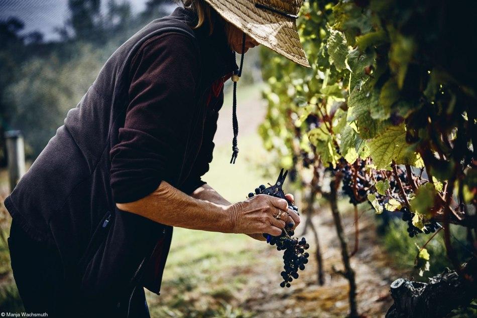 Harvest Grapes are being harvest at Tantalus Estate, Harvest 2020