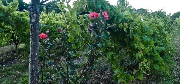 розовый куст на винограднике