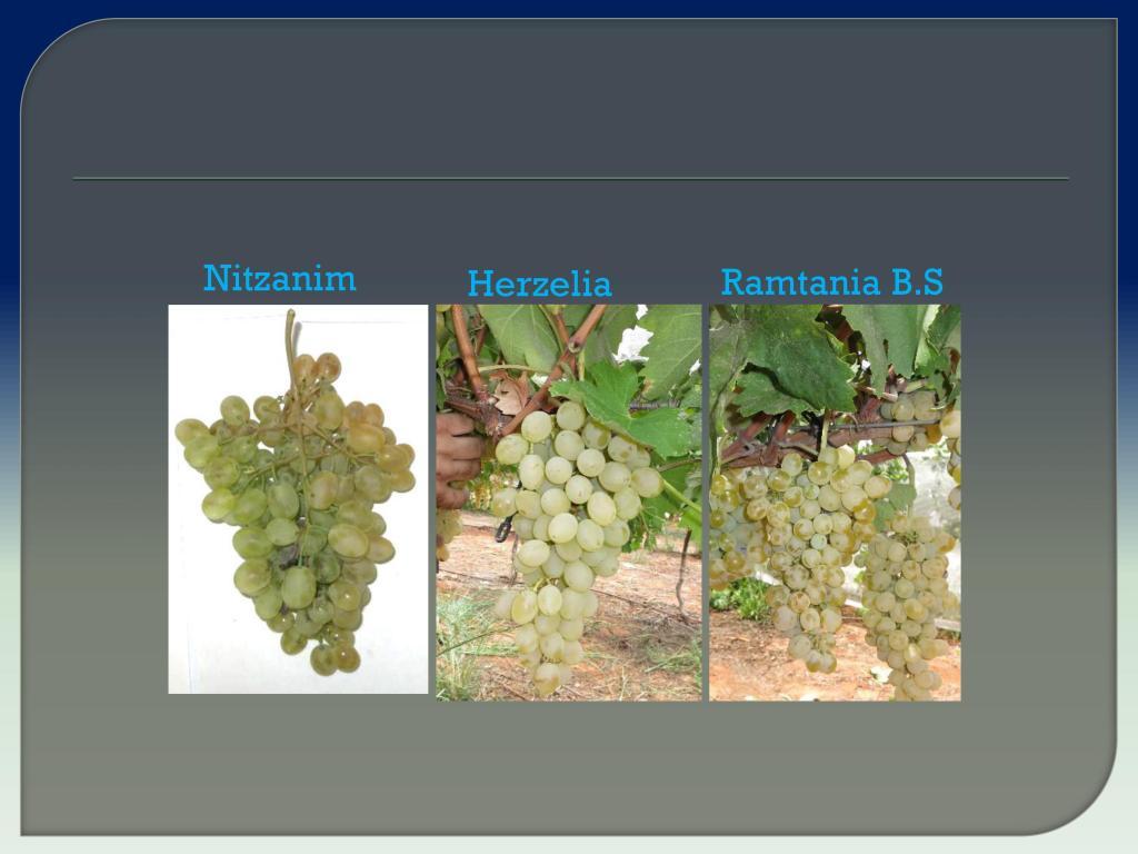 виноград Израиля, Дрори 13