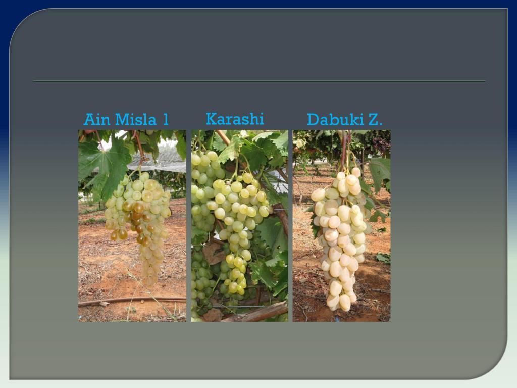 виноград Израиля, Дрори 14