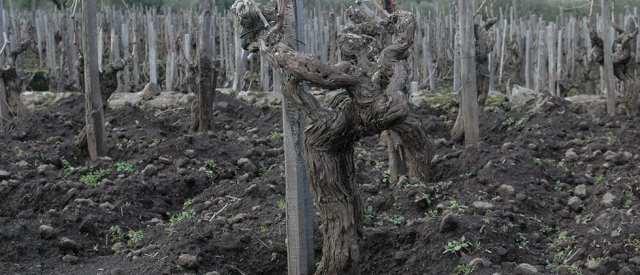 vini-wine-etna-vecchia-vite