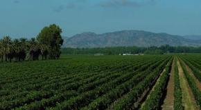 La plantación de un viñedo