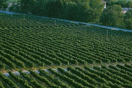 Campo de viñedo