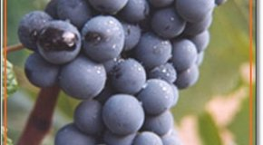 La anciana uva Bobal