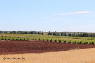 Viñedo de Castilla La Mancha. La Mancha.