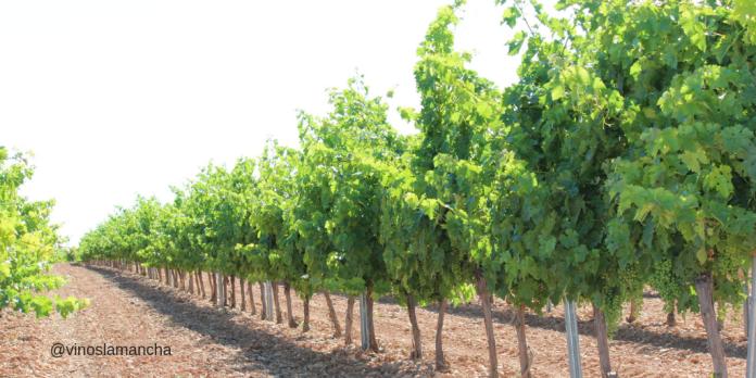 plantacion viñedo castilla la mancha