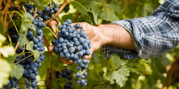 precio de la uva 2019