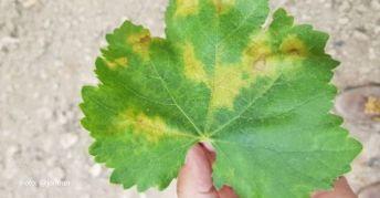 Las 'manchas de aceite' del mildiu