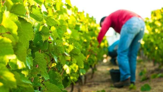 reducción cosecha uva