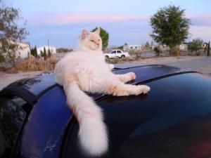 Sandy the cat