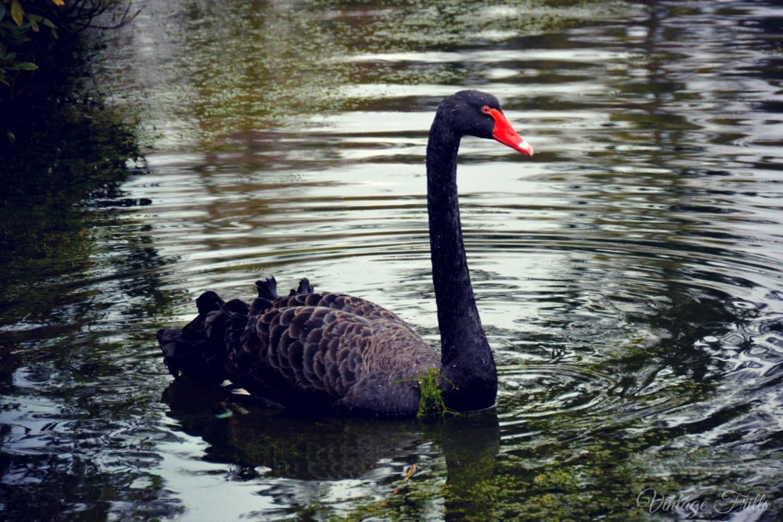 Claremont Black Swan 2