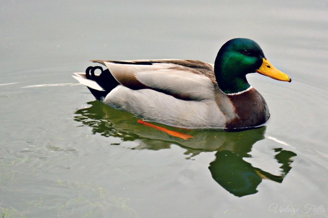 Claremont Duck
