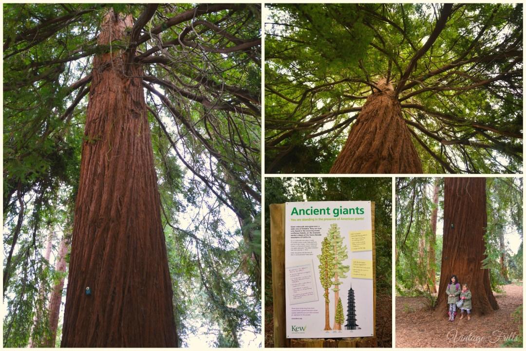 Kew Gardens Redwood Trees