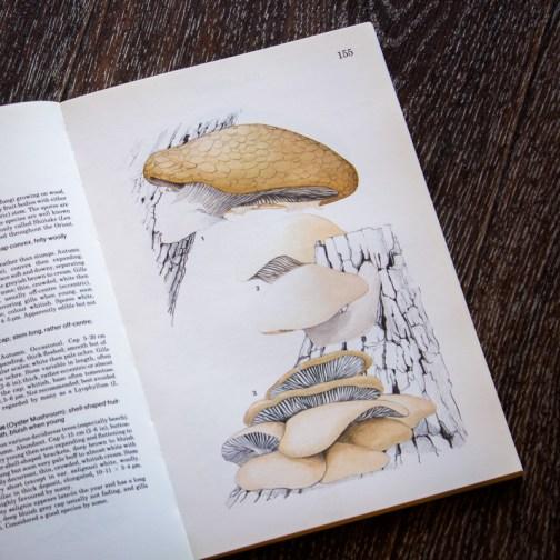 Вешенка. Иллюстрация из книги 1979 года. Артикул: mat049