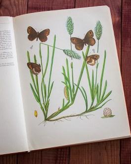 Чернушка. Иллюстрация из книги 1968 года. Артикул: tcbbic_pl004