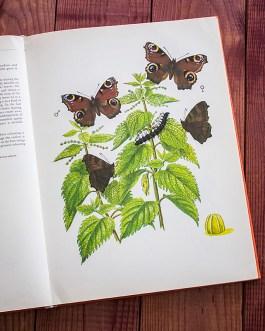Павлиноглазка. Иллюстрация из книги 1968 года. Артикул: tcbbic_pl025
