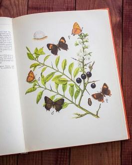 Бабочки. Иллюстрация из книги 1968 года. Артикул: tcbbic_pl043