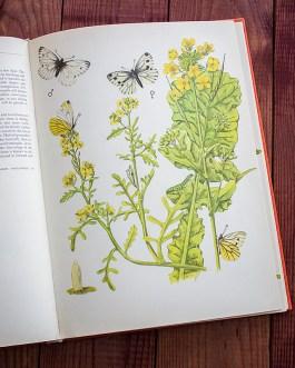 Брюквенница. Иллюстрация из книги 1968 года. Артикул: tcbbic_pl051