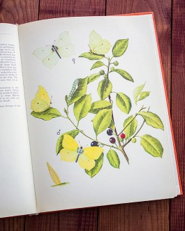 Бабочки. Иллюстрация из книги 1968 года. Артикул: tcbbic_pl056