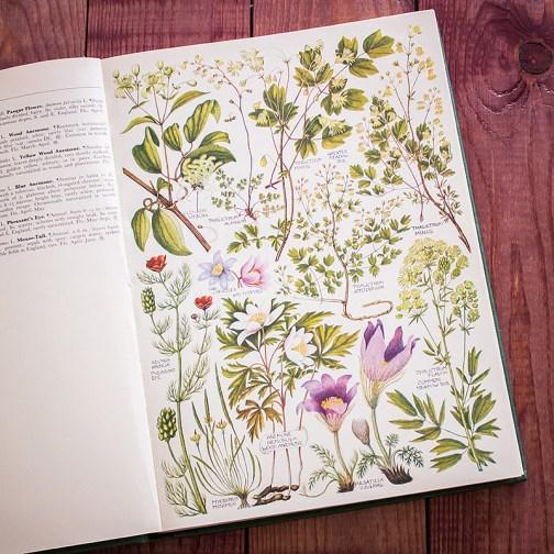 Растения Британии. Иллюстрация из книги 1969 года. Артикул: tcbfic_pl001