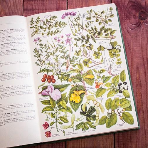 Растения Британии. Иллюстрация из книги 1969 года. Артикул: tcbfic_pl020