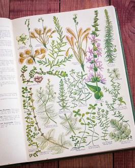 Растения Британии. Иллюстрация из книги 1969 года. Артикул: tcbfic_pl034