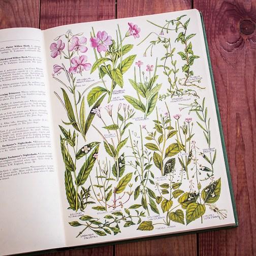 Растения Британии. Иллюстрация из книги 1969 года. Артикул: tcbfic_pl035