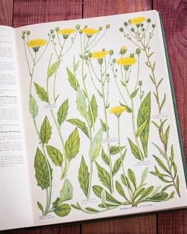 Растения Британии. Иллюстрация из книги 1969 года. Артикул: tcbfic_pl052