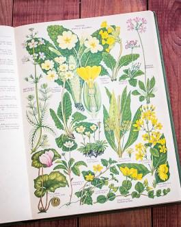 Растения Британии. Иллюстрация из книги 1969 года. Артикул: tcbfic_pl057