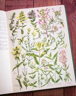 Растения Британии. Иллюстрация из книги 1969 года. Артикул: tcbfic_pl065