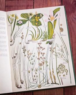 Растения Британии. Иллюстрация из книги 1969 года. Артикул: tcbfic_pl086