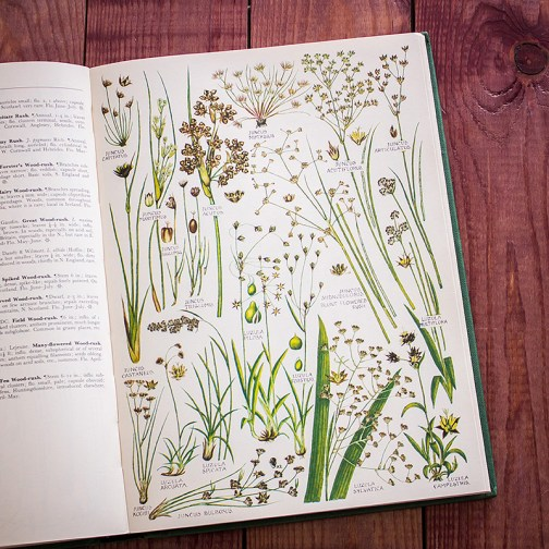 Растения Британии. Иллюстрация из книги 1969 года. Артикул: tcbfic_pl087