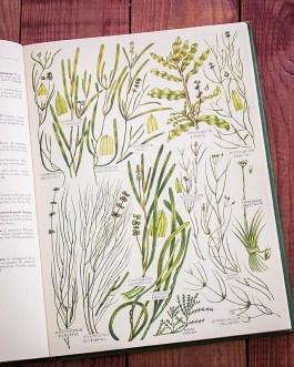 Растения Британии. Иллюстрация из книги 1969 года. Артикул: tcbfic_pl090