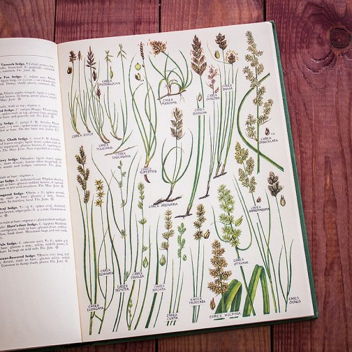 Растения Британии. Иллюстрация из книги 1969 года. Артикул: tcbfic_pl092